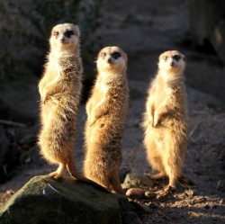 Three meerkats, not four, not two
